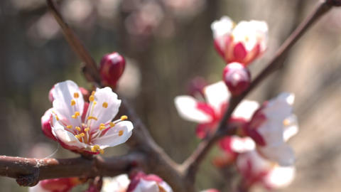 Spring cherry flowers, white flowers and buds Stock Video Footage