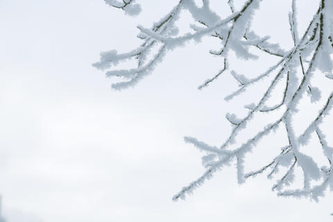 Tree branches in the snow フォト
