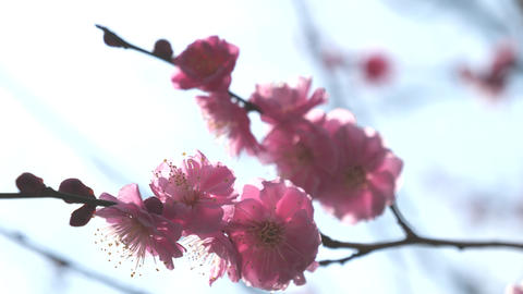 Ume blossom or Plum blossom, harbinger of the arrival of…, Live Action