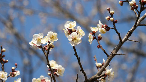 Ume blossom or Plum blossom, harbinger of the arrival of... Stock Video Footage
