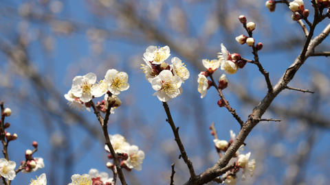 Ume blossom or Plum blossom, harbinger of the arrival of spring in Japan Footage
