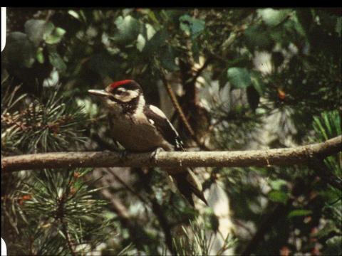 Woodpecker 1 Footage