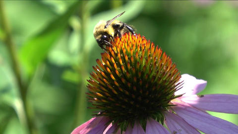 Bee drinking nectar from cone flower Live Action