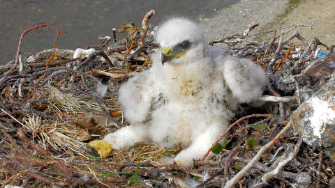 White thick chick Rough-legged Buzzard sitting in nest as solid bourgeois Footage