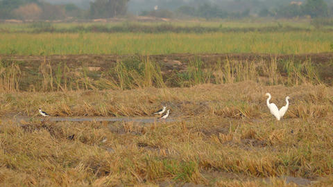 Birds at the countryside of Cambodia Footage