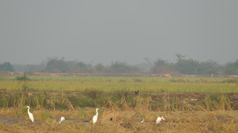 Group of egrets at the countryside of Cambodia Live Action