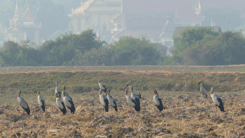 Big group of Asian openbill storks standing at the farmland Footage
