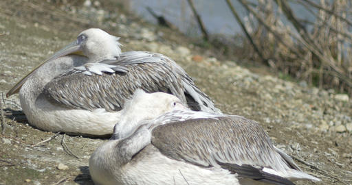 Two Pelicans Resting Footage