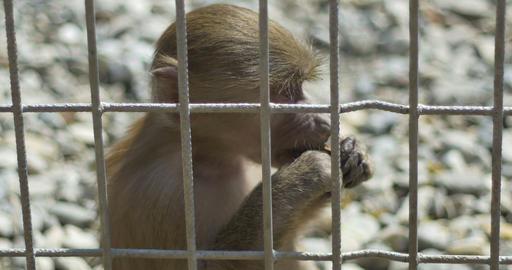 Little Monkey in Captivity Footage