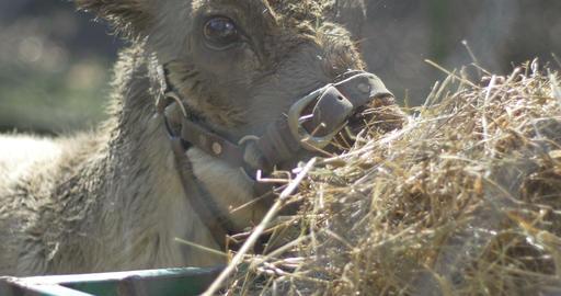 Reindeer Calf Eating Hay Footage