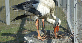 Storks in Captivity Footage