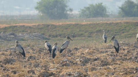 Group of Asian openbill storks standing at the farmland Live Action