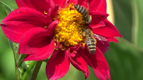 Three bees eating nectar on a red chrysanthemum flower in the summer sun Footage