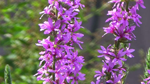 Bumble-bee eating nectar on a pink purple loosestrife flower in the summer sun Footage