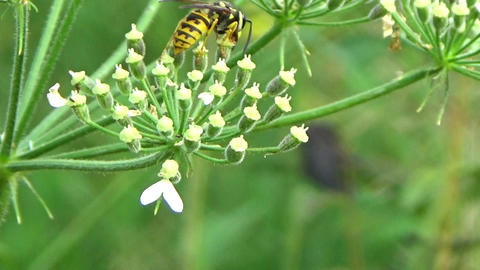 Closeup of a yellow wasp insect eating nectar on a Fennel flower Footage