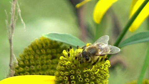 A bee insect eating nectar on a yellow wild echinacea flower in the summer sun Footage