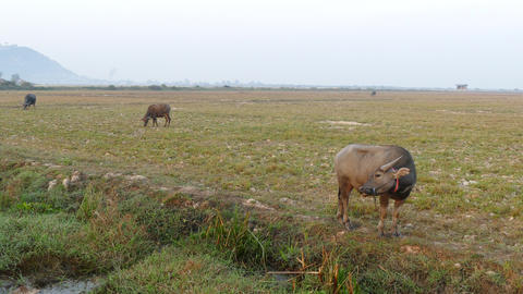 Water buffaloes in the morning Footage
