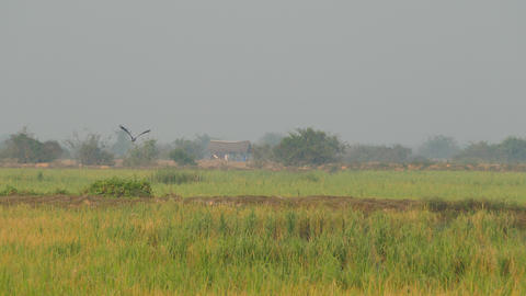 Asian openbill flies away at the countryside of Cambodia Footage