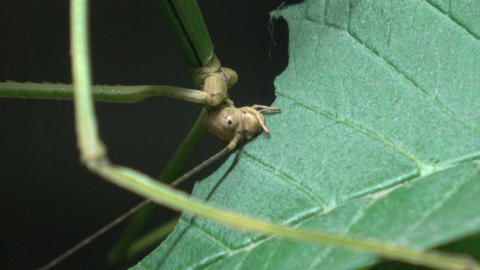 Walking stick insect eating leaf, extreme close up, magnification Live Action