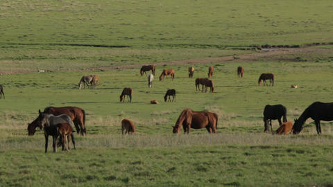 Horses in the field Footage