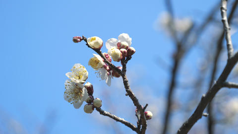 Ume blossom or Plum blossom, harbinger of the arrival of spring in Japan Live Action