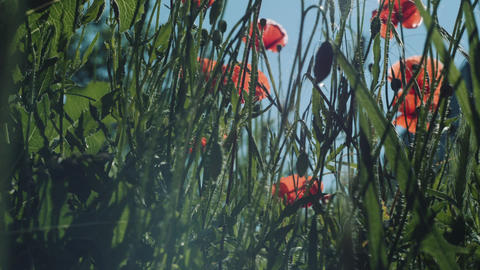 Poppy flowers against the blue sky swaying in the wind Footage
