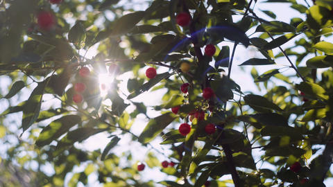 Sun's rays breaking through the leaves of a cherry blossom tree ライブ動画