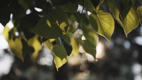 Sun's rays breaking through the leaves of the tree ライブ動画