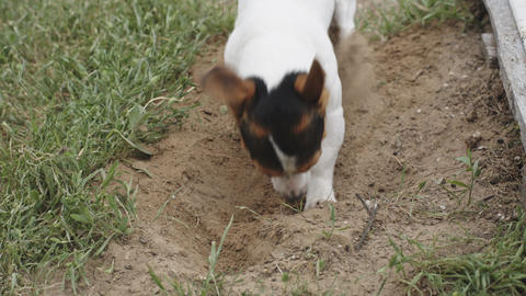 dog breed Jack Russell Terrier digging a hole Footage
