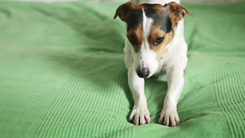 Jack Russell Terrier lying on the bed Footage
