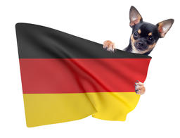 Cute Chihuahua dog have germany soccer flag between the legs Photo