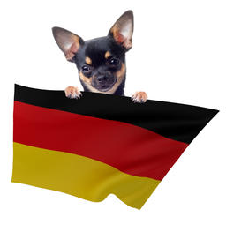 Cute Chihuahua dog have Germany soccer flag between legs Fotografía
