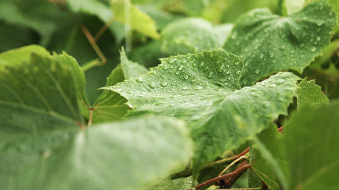 Rain drops falling on green leaves Footage