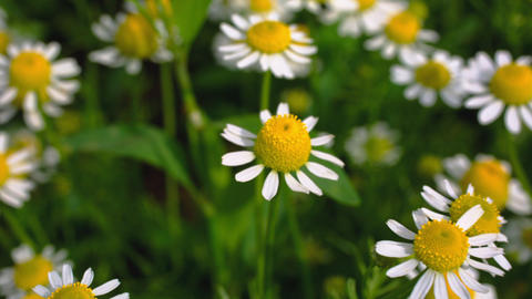 meadow with daisies closeup Footage