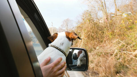 A small dog jack russell terrier rides in the car sticking his head out the Footage