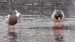 Two ducks in Munich, Germany, during the snow storm Footage