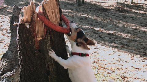 Cute jack russel terrier paying Footage