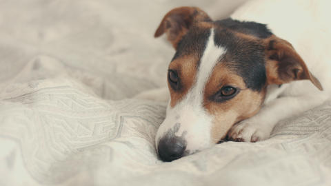 small dog breed the Jack Russell Terrier lays on the bed Footage