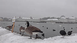 Wild goose in front of Castle Nymphenburg Palace in... Stock Video Footage