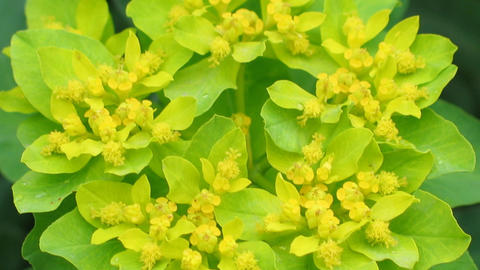 Euphorbia blossom close-up. Natural video with forest flowers detail. Sharping Animation