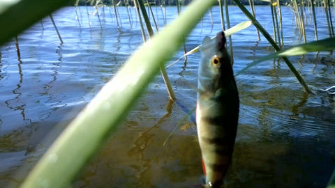 summer perch fishing bait Footage