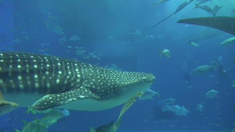 (4K)Okinawa Churaumi Aquarium / 沖縄美ら海水族館 4K動画素材 Live Action