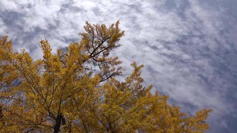 (4K)colored leaf Kyoto Japan / 京都の紅葉 4K動画素材 Live Action