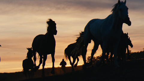 Herd of wild horses moving through the yellow hills, during pink sunset. Wild Live Action