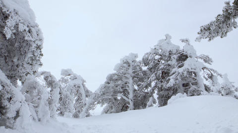 The wind blows between frozen trees raising snow dust Footage