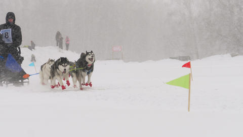 Team of husky sled dogs with dog-driver Footage