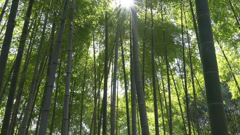 Bamboo forest with sunny lens flare 영상물