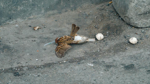 two sparrows are fighting Footage