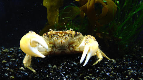 Invasive species, invader Rhithropanopeus harrisii (common names include the Zuiderzee crab Live Action
