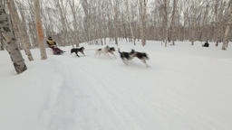 Russian Cup of Sled Dog Race (snow disciplines), Kamchatka Sled Dog Racing Footage